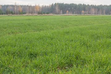 Zielona trawa jesienią.