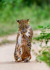 Fototapete - Leopard with prey is on the road. Very rare shot. Sri Lanka. Yala National Park