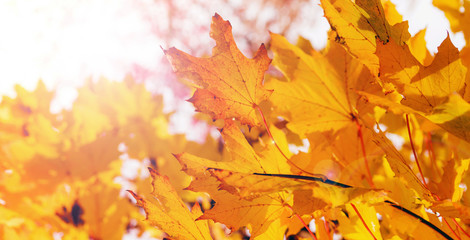 Autumn background, yellow maple leaves. Free space for an inscription. The time of year is autumn.