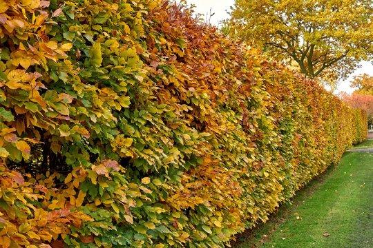 Hornbeam hedge in autumn, Carpinus betulus