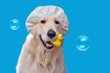 Pretty retriever wearing shower hat while bathing