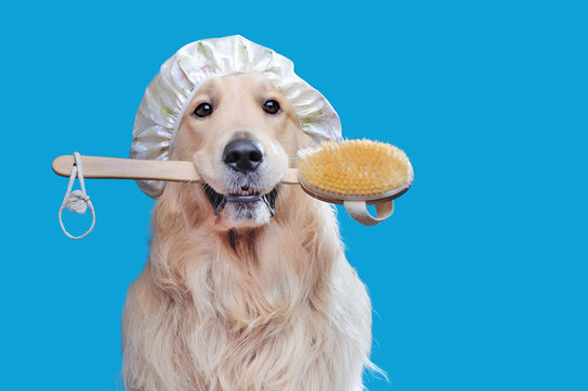 Golden retriever holding bath brush in mouth