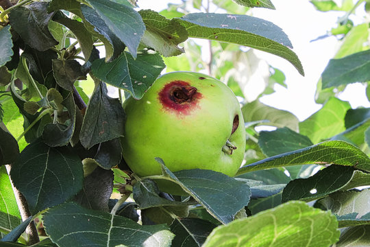A hole in a apple caused by a codling moth