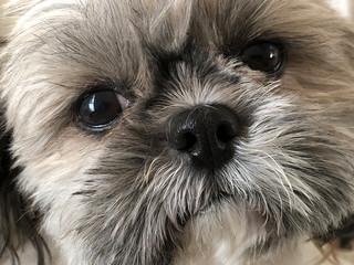 closeup face of a sweet family pet, a shih tzu dog