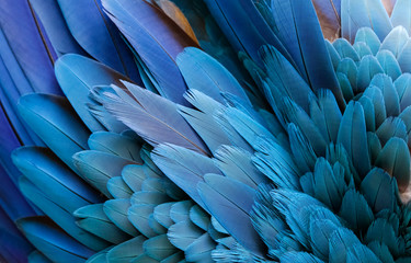 Close up of beautiful bird feathers of Blue and Yellow Macaw, exotic natural textured background in different blue colors and yellow, Lagoa das Araras, Mato Grosso, Brazil