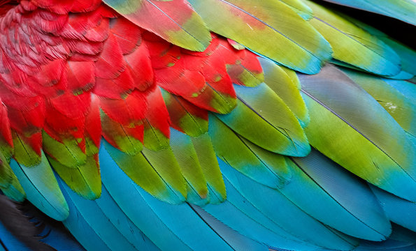 Close up of colorful bird feathers of Red and Green Macaw, exotic natural textured background in red, green and blue, Chapada dos Guimarães, Mato Grosso, Brazil