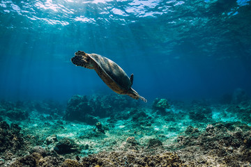 Sea turtle glides in ocean. Underwater view with turtles