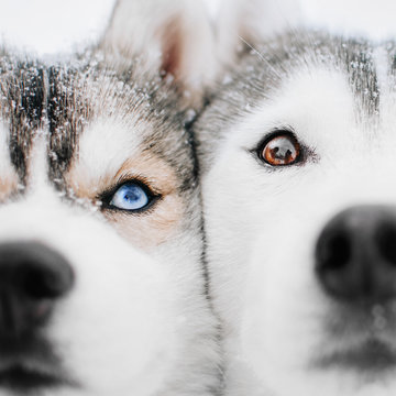 two siberian husky dogs posing outdoors in winter