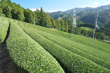 Kyoto,Japan-November 15, 2019: Beautiful Tea fields at Wazuka in Uji, Kyoto