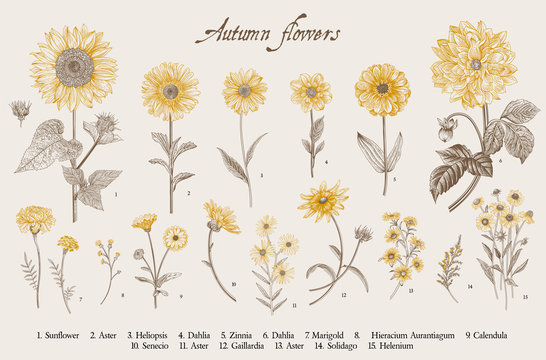 Vintage vector botanical illustration. Set. Autumn flowers. Brown and yellow