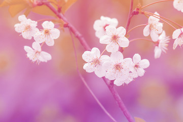 There is a beautiful snow-white blossoming cherry branch on a blurred background. Pink-tinted photo of cherry blossoms. Shooting with wide open aperture outdoors.