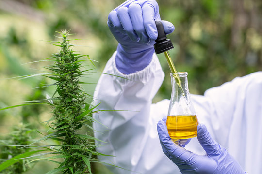 The hands of scientists dropping marijuana oil for experimentation and research, ecological hemp plant herbal pharmaceutical cbd oil from a jar.