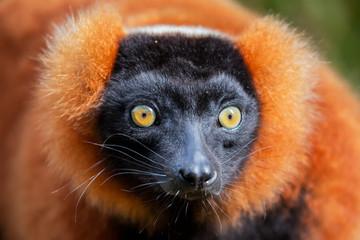 Red ruffed lemur portrait (Varecia rubra), Andasibe reserve, Madagascar