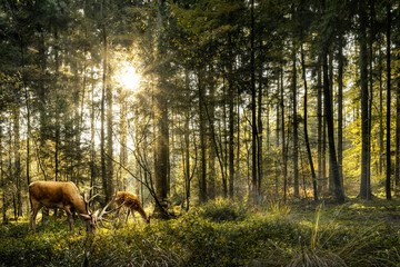 Printed kitchen splashbacks Deer Sun is shining in forest and roe deer are grazing in beautiful forest