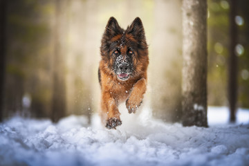 German shepherd dog jumping on the snow in a forest Wall mural