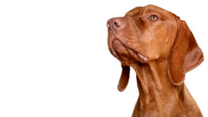 Beautiful young male magyar vizsla dog studio portrait. Vizsla pointer dog face close up against...