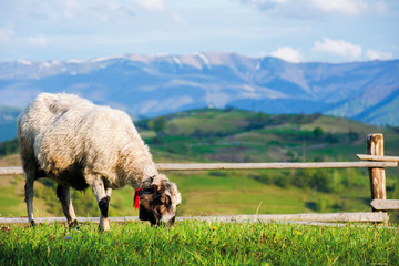 fluffy goat grazing fresh green grass on a mountain meadow in front of the fence. distant ridge with snow capped tops beneath a blue sky with clouds. beautiful rural scenery on a sunny springtime day