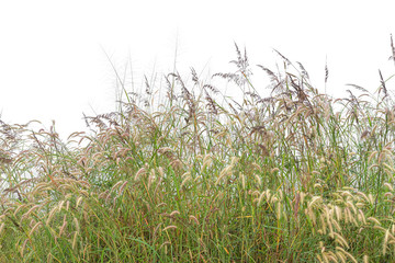 Fototapeta Reeds of grass isolated and white background.