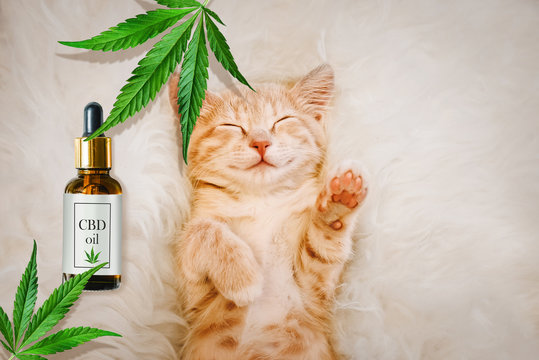 Concept of animal feed, vitamins with CBD oil and cannabis. Cute red kitten with a smile sleeps, hemp leaves in the background