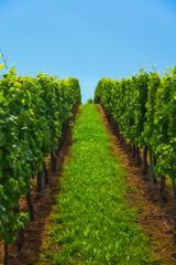 Foto op Canvas Wijngaard vineyard on Mosel