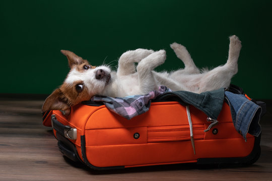 dog travel. Jack Russell Terrier is lying and playing in a suitcase.