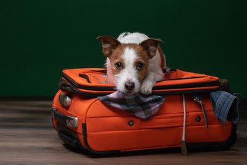 doglies on a suitcase . little Jack Russell Terrier is about to travel.
