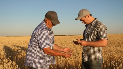 Businessmen take pictures of millet on a tablet and send it to the manufacturer s website. An agronomist and a farmer work in a field checking wheat grain for quality. Harvesting cereals.