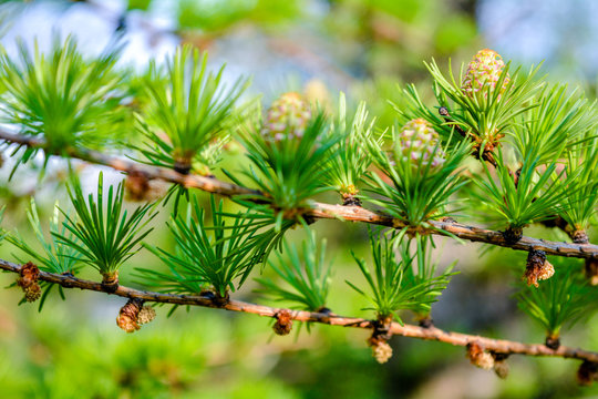 Bright green fluffy branches of larch tree Larix decidua Pendula. Closeup nature