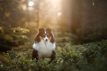 dog in forest. Sunlight. Pet on the nature. Sheltie tricolor in nature Wall mural