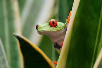 Fototapeta Red-eyed Tree Frog in Rainforest obraz