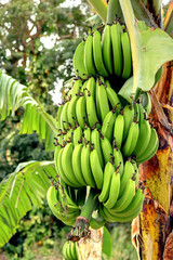 Régime de bananes en Guadeloupe Antilles Française