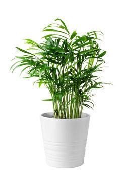 Houseplant small green palm tree (Chamaedorea Hyophorbeae Hamedorea Bridble)