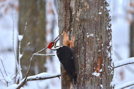 Pileated Woodpecker Eating from a Tree