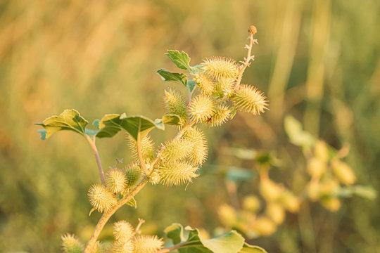 Flowers Of Xanthium Strumarium In Summer Garden