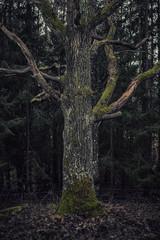 Tree trunk of an old oak tree in a dark forest