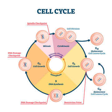 Cell cycle vector illustration. Educational microbiological phases scheme.
