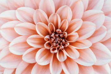 Poster Dahlia Defocused pastel, peach, coral dahlia petals macro, floral abstract background. Close up of flower dahlia for background, Soft focus.