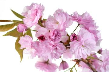 Foto op Plexiglas Azalea Beautiful sakura isolated. Beautiful flowering - blooming Japanese cherry