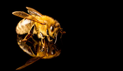 Honey bee macro, isolated on black background. Bee concept. Copy space on right
