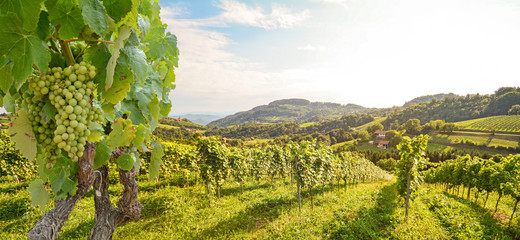 Wall Murals Vineyard Vines in a vineyard with white wine grapes in summer, hilly agricultural landscape near winery at wine road, Styria Austria