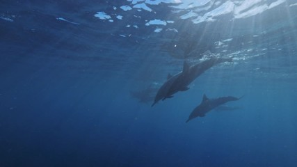 Wall Mural - Dolphins pod underwater in deep blue sea water