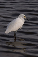 Contrasting light and dark elements of snowy egret and black water