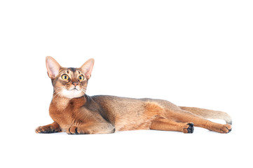 Beautiful abyssinian cat portrait isolated on white, cat lies stretched out Wall mural