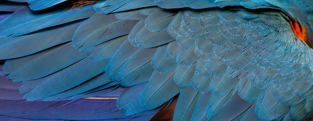 Close up of beautiful bird feathers of Red and Green Macaw, exotic natural textured background in different blue colors, Lagoa das Araras, Mato Grosso, Brazil