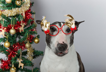 Dog of breed Bull Terrier with red reindeer glasses and Christmas tree on white background. Christmas concept