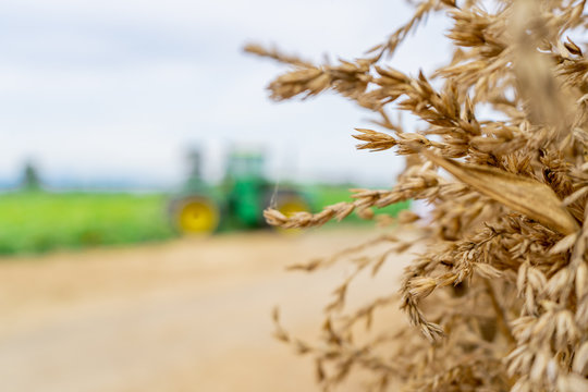 Background with dried, brown wheat sprouts showing from the side and blurry tractor in the field on a farm, rural scene.