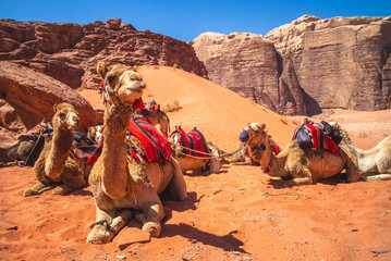 Photo sur Plexiglas Chameau camel in the wadi rum desert, southern jordan