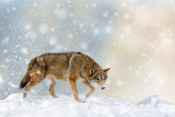 Wall Mural - Wolf in a snow on Christmas background