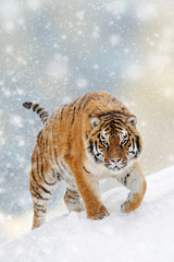 Wall Mural - Tiger in a snow on Christmas background