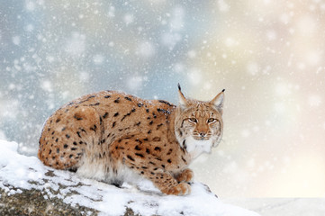 Wall Mural - Lynx in a snow on Christmas background